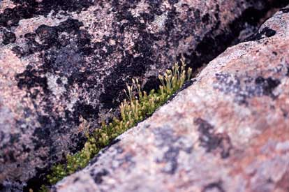 APII jpeg image of Coprosma pumila  © contact APII