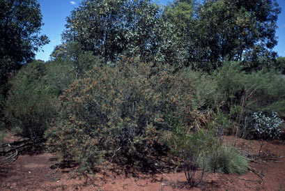 APII jpeg image of Acacia colletioides  © contact APII