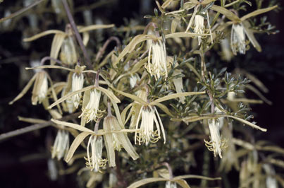 APII jpeg image of Clematis leptophylla  © contact APII