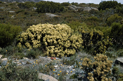 APII jpeg image of Ozothamnus hookeri  © contact APII