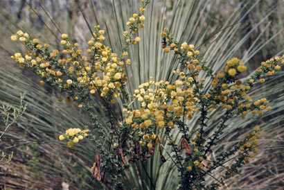 APII jpeg image of Acacia mitchellii  © contact APII
