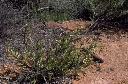 APII jpeg image of Acacia alata  © contact APII