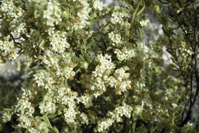 APII jpeg image of Commersonia craurophylla  © contact APII