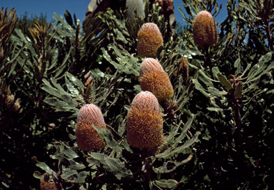 APII jpeg image of Banksia burdettii  © contact APII