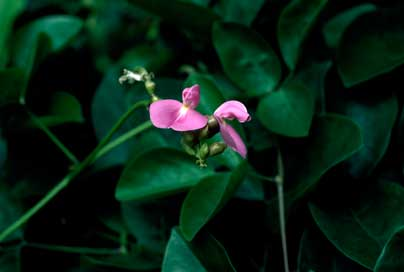 APII jpeg image of Canavalia rosea  © contact APII