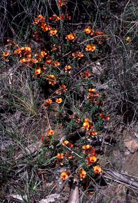 APII jpeg image of Pultenaea subspicata  © contact APII