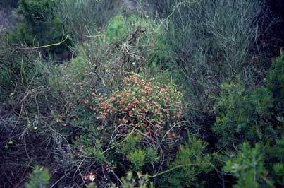 APII jpeg image of Dillwynia hispida  © contact APII