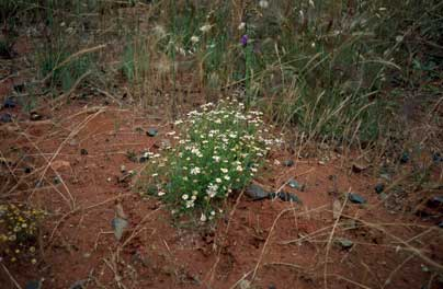 APII jpeg image of Minuria leptophylla  © contact APII