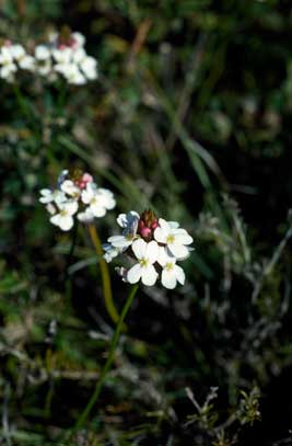 APII jpeg image of Stylidium junceum  © contact APII