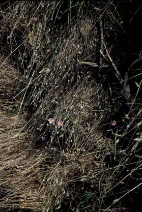 APII jpeg image of Brachyscome formosa  © contact APII