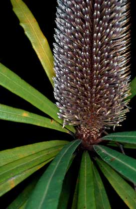APII jpeg image of Banksia plagiocarpa  © contact APII
