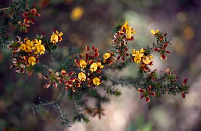 APII jpeg image of Pultenaea acerosa  © contact APII