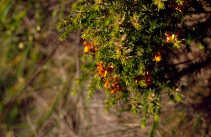 APII jpeg image of Pultenaea campbellii  © contact APII