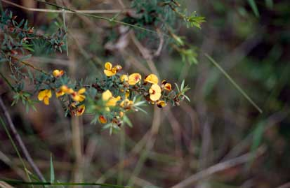 APII jpeg image of Pultenaea muelleri  © contact APII
