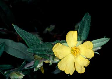 APII jpeg image of Hibbertia saligna  © contact APII