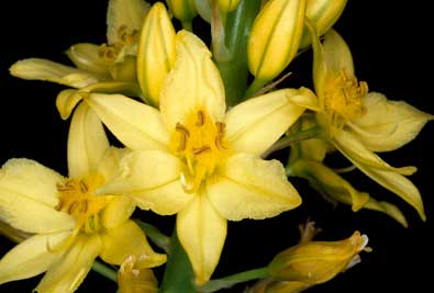 APII jpeg image of Bulbine  © contact APII