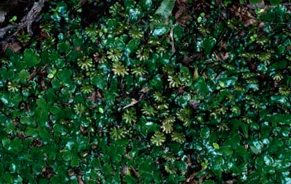 APII jpeg image of Marchantia foliacea  © contact APII