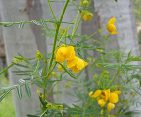 APII jpeg image of Senna aciphylla  © contact APII