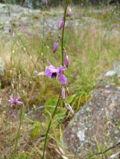 APII jpeg image of Arthropodium fimbriatum  © contact APII