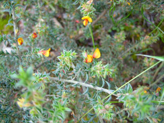 APII jpeg image of Pultenaea  © contact APII