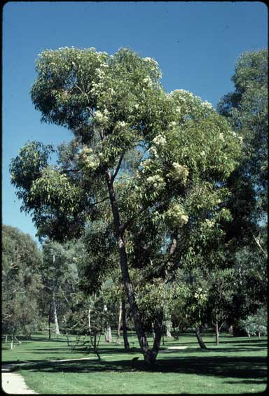 APII jpeg image of Corymbia gummifera  © contact APII