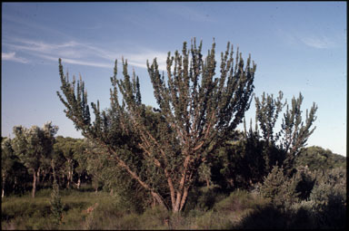 APII jpeg image of Banksia ilicifolia  © contact APII