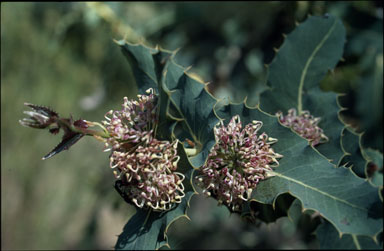 APII jpeg image of Hakea amplexicaulis  © contact APII