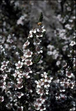 APII jpeg image of Leptospermum lanigerum  © contact APII