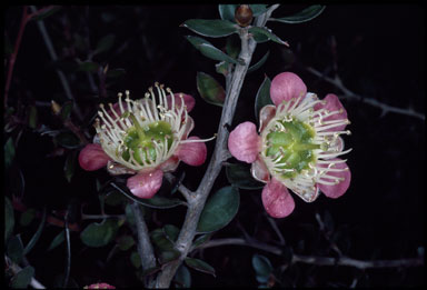 APII jpeg image of Leptospermum macrocarpum  © contact APII