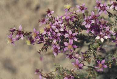 APII jpeg image of Calytrix brevifolia  © contact APII