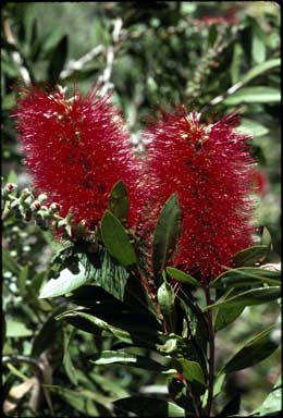APII jpeg image of Callistemon 'Splendens'  © contact APII