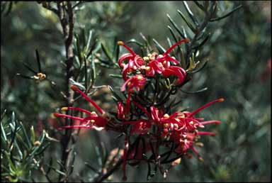 APII jpeg image of Grevillea 'Poorinda Wonder'  © contact APII