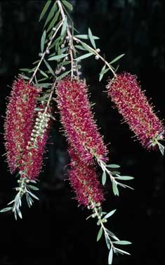 APII jpeg image of Callistemon citrinus 'Candy Pink'  © contact APII