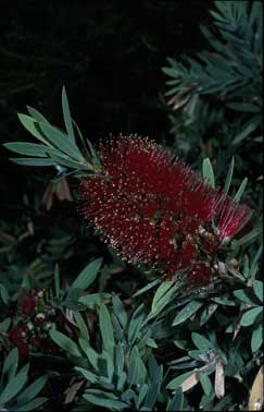 APII jpeg image of Callistemon 'Little John'  © contact APII