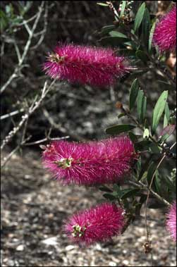 APII jpeg image of Callistemon 'Violaceus'  © contact APII