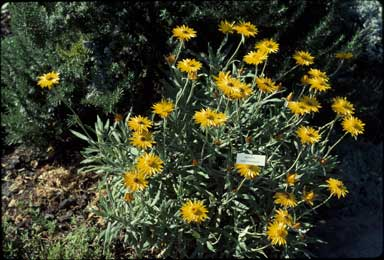 APII jpeg image of Xerochrysum bracteatum 'Dargan Hill Monarch'  © contact APII