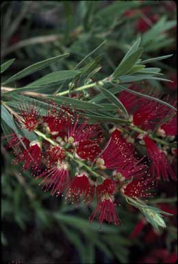 APII jpeg image of Callistemon viminalis 'Captain Cook'  © contact APII