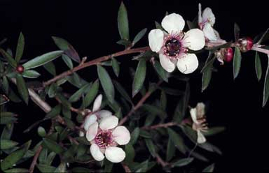 APII jpeg image of Leptospermum scoparium 'Clear View Nana+'  © contact APII