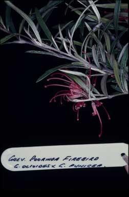 APII jpeg image of Grevillea 'Poorinda Firebird'  © contact APII