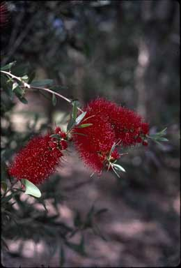 APII jpeg image of Callistemon citrinus 'Firebrand'  © contact APII