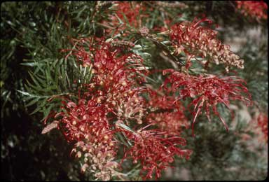 APII jpeg image of Grevillea bipinnatifida x biggenden  © contact APII