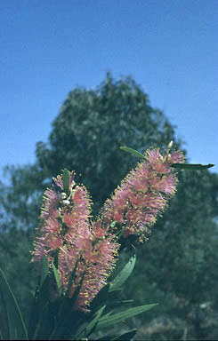 APII jpeg image of Callistemon 'Sallyann'  © contact APII