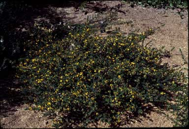 APII jpeg image of Pultenaea 'Wallum Gold'  © contact APII