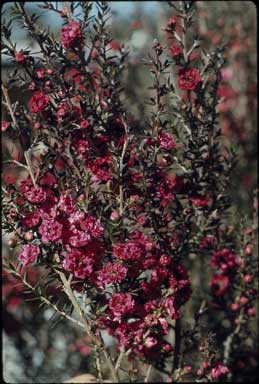 APII jpeg image of Leptospermum 'Red Damask'  © contact APII