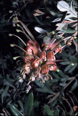 APII jpeg image of Grevillea 'Wakiti Sunrise'  © contact APII