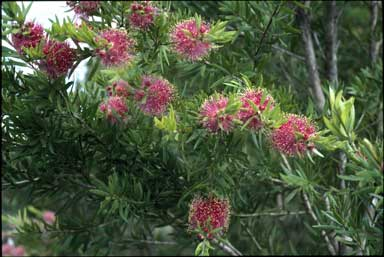 APII jpeg image of Callistemon 'Pink Sensation'  © contact APII
