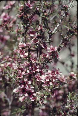 APII jpeg image of Leptospermum scoparium 'Sandersii'  © contact APII