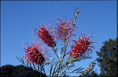 APII jpeg image of Grevillea 'Sylvia'  © contact APII