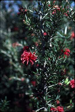 APII jpeg image of Grevillea 'Poorinda Julie'  © contact APII