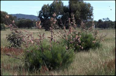 APII jpeg image of Grevillea 'Excellence'  © contact APII